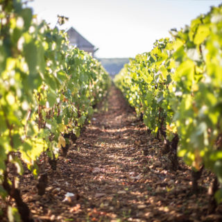 Gros plan vignes Bourgogne